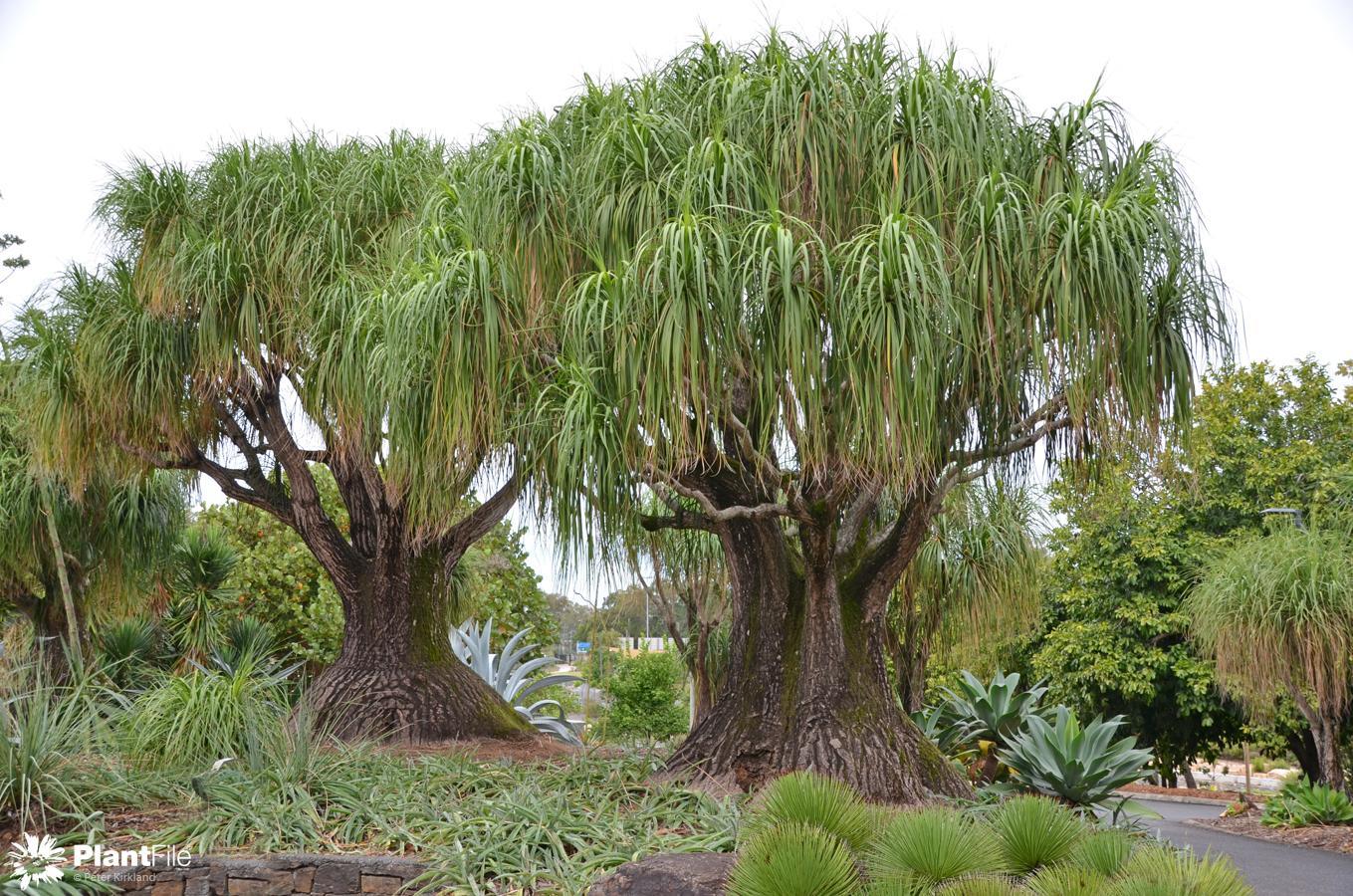 Plantfile for Beaucarnea recurvata